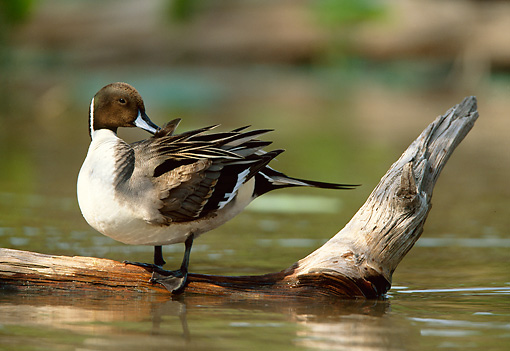 BRD 03 DB0006 01 © Kimball Stock Northern Pintail Drake Standing On Fallen Tree Over Water