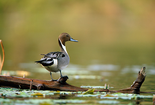 BRD 03 DB0007 01 © Kimball Stock Northern Pintail Drake Standing On Fallen Tree Over Water