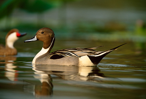 BRD 03 DB0008 01 © Kimball Stock Northern Pintail Drake Swimming