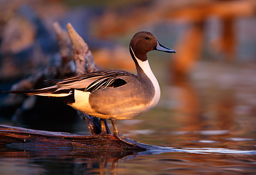 BRD 03 DB0009 01 © Kimball Stock Northern Pintail Drake Standing On Fallen Tree Over Water