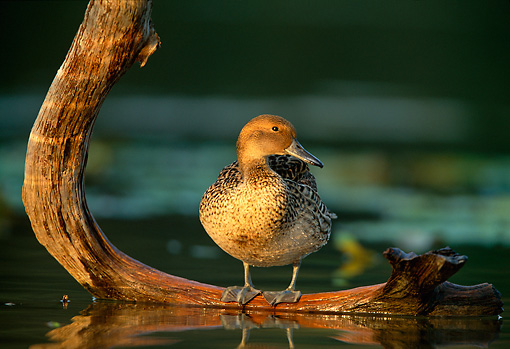 BRD 03 DB0010 01 © Kimball Stock Northern Pintail Hen Standing On Fallen Tree Over Water