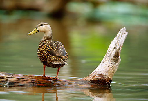 BRD 03 DB0013 01 © Kimball Stock Mottled Duck Standing On Fallen Tree In Marsh