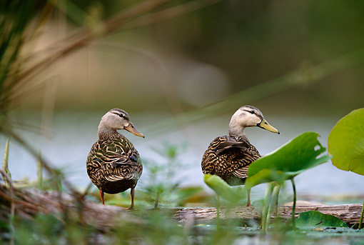 BRD 03 DB0014 01 © Kimball Stock Two Mottled Ducks Standing On Fallen Tree In Marsh