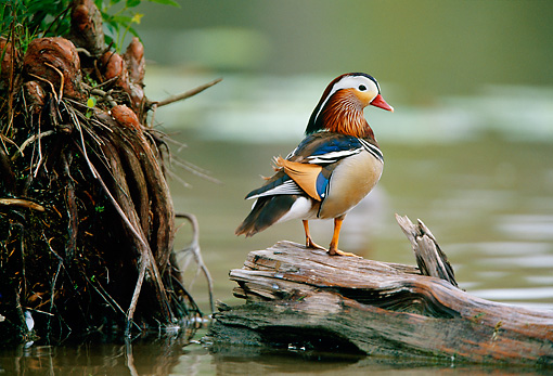BRD 03 DB0016 01 © Kimball Stock Mandarin Drake Standing On Fallen Tree In Marsh