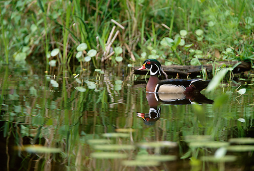 BRD 03 DB0017 01 © Kimball Stock Wood Duck Drake Swimming In Marsh