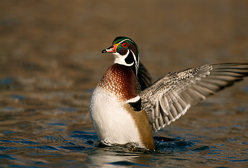 BRD 03 DB0018 01 © Kimball Stock Wood Duck Drake Flapping Wings On Water