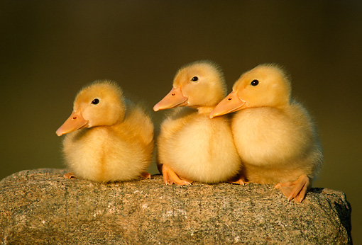 BRD 03 GR0016 02 © Kimball Stock Three Domestic Ducklings On Rock