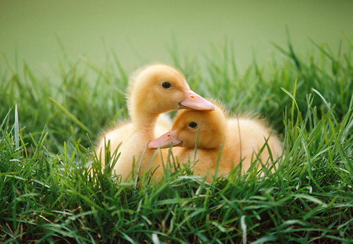 BRD 03 GR0018 01 © Kimball Stock Two Domestic Ducklings Huddling Together In Tall Grass