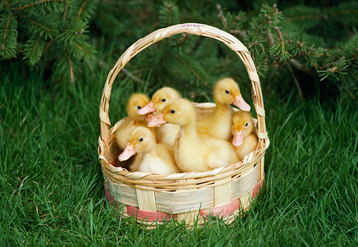BRD 03 GR0019 01 © Kimball Stock Group Of Six Domestic Ducklings Sitting In Basket In Grass