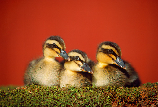 BRD 03 GR0020 01 © Kimball Stock Three Mallard Ducklings Sitting On Mossy Log