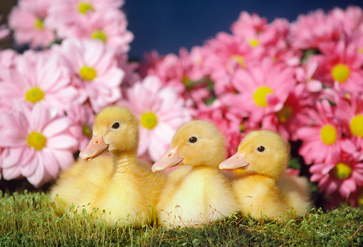 BRD 03 GR0024 01 © Kimball Stock Three Domestic Ducklings Sitting In Grass By Pink Flowers