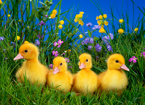 BRD 03 KH0001 01 © Kimball Stock Four Ducklings Sitting In Grass By Flowers