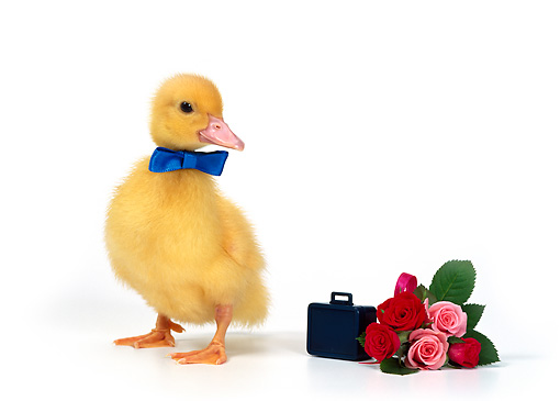 BRD 03 KH0002 01 © Kimball Stock Duckling Wearing Blue Bow Tie Standing By Bouquet Of Roses And Briefcase
