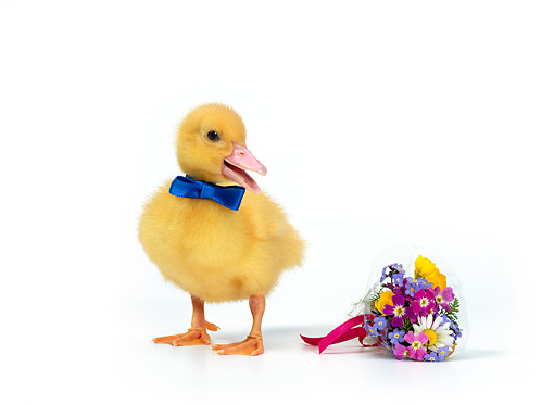 BRD 03 KH0003 01 © Kimball Stock Duckling Wearing Blue Bow Tie Standing By Bouquet Of Flowers