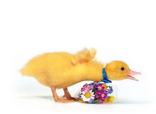BRD 03 KH0004 01 © Kimball Stock Duckling Wearing Blue Bow Tie Leaning Over Bouquet Of Flowers