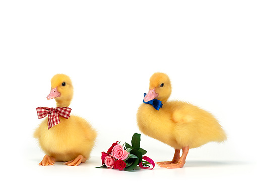 BRD 03 KH0005 01 © Kimball Stock Two Ducklings Wearing Bow Ties By Bouquet Of Roses