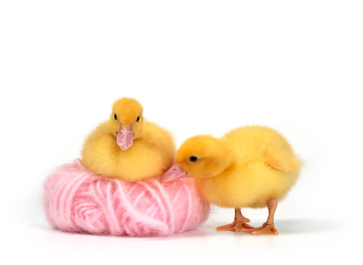 BRD 03 KH0008 01 © Kimball Stock Two Ducklings With Pink Yarn Ball
