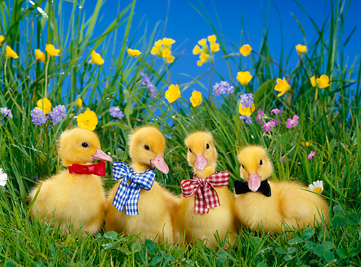BRD 03 KH0010 01 © Kimball Stock Four Ducklings Standing In Grass Wearing Bow Ties