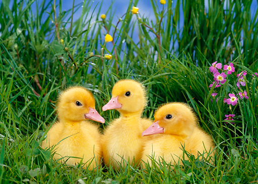 BRD 03 KH0013 01 © Kimball Stock Three Ducklings Sitting In Grass