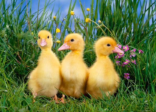 BRD 03 KH0014 01 © Kimball Stock Three Ducklings Standing In Grass