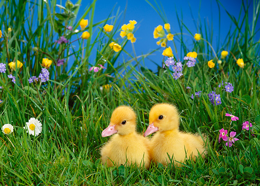 BRD 03 KH0016 01 © Kimball Stock Two Ducklings Sitting In Grass With Flowers