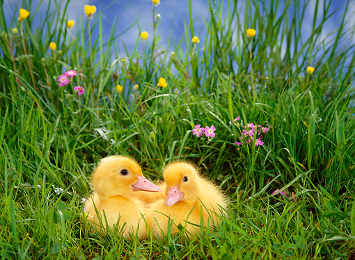 BRD 03 KH0017 01 © Kimball Stock Two Ducklings Sitting In Grass