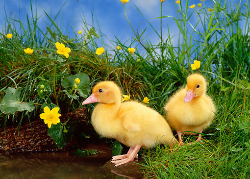 BRD 03 KH0018 01 © Kimball Stock Two Ducklings Standing In Grass By Pond
