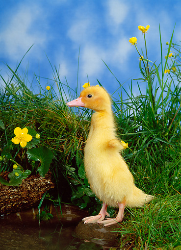 BRD 03 KH0019 01 © Kimball Stock Duckling Standing In Grass By Pond