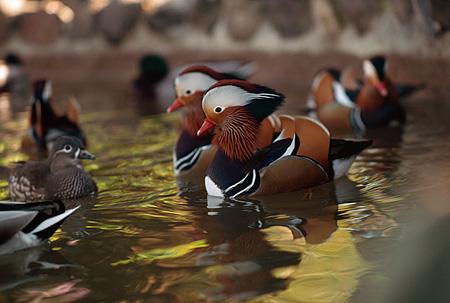 Duck Animal Stock Photos Kimballstock