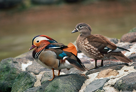 BRD 03 RK0010 02 © Kimball Stock Two Mandarin Ducks Sitting On Rocks