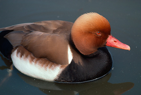 BRD 03 RK0028 01 © Kimball Stock Red Head Duck In Water