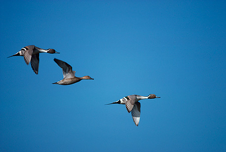BRD 03 RK0030 03 © Kimball Stock Pintail Ducks In Flight