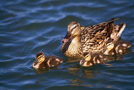BRD 03 RK0048 14 © Kimball Stock Mallard Duck Swimming With Ducklings In Water