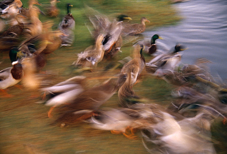 BRD 03 RK0056 01 © Kimball Stock Blurry Mallard Ducks In Flight By Water