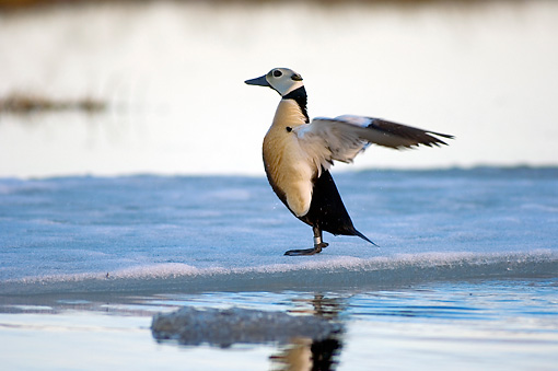 BRD 03 SK0007 01 © Kimball Stock Steller's Eider Flapping Wings By Icy Lake Alaska