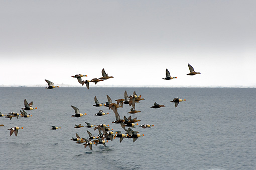 BRD 03 SK0008 01 © Kimball Stock Flock Of King Eiders Flying Over Water Alaska