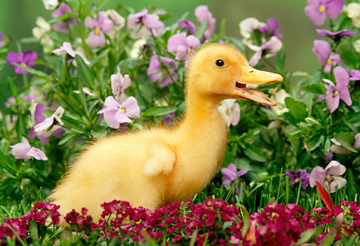 BRD 03 TK0003 01 © Kimball Stock Domestic Farm Duckling Standing By Flowers