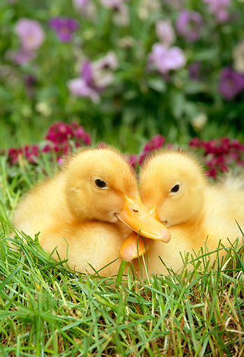 BRD 03 TK0005 01 © Kimball Stock Two Domestic Farm Ducklings Sitting In Grass
