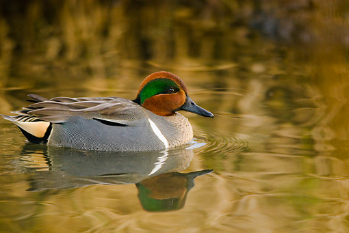 BRD 03 TL0001 01 © Kimball Stock Green-winged Teal Duck In Water