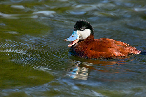BRD 03 TL0002 01 © Kimball Stock Ruddy Duck In Water