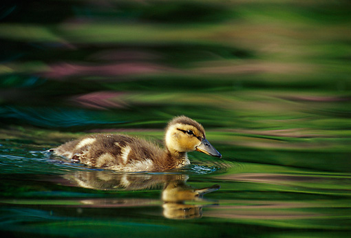 BRD 03 TL0005 01 © Kimball Stock Young Mallard Duckling Swimming In Water