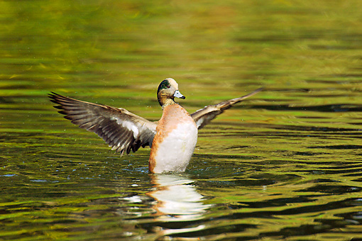 BRD 03 TL0010 01 © Kimball Stock American Wigeon Drake Drying Wings