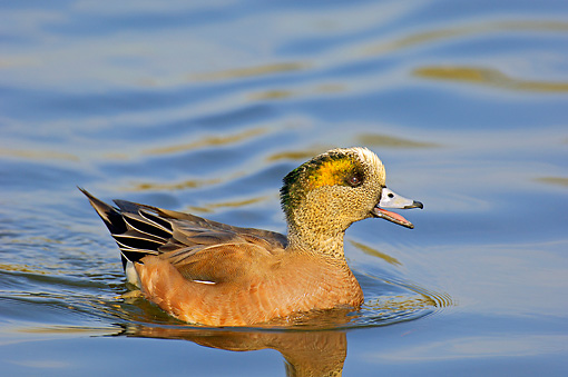 BRD 03 TL0012 01 © Kimball Stock American Wigeon Drake Swimming In Water