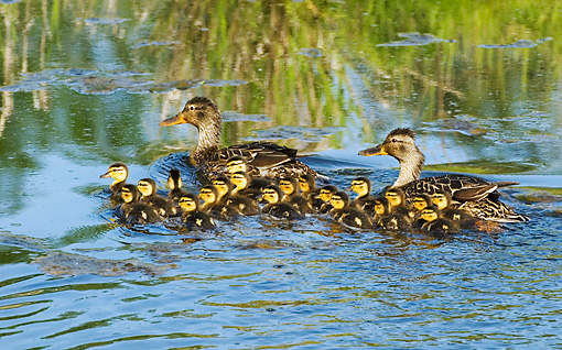 BRD 03 TL0015 01 © Kimball Stock Two Mallard Duck Hens Swimming With Ducklings By Grass