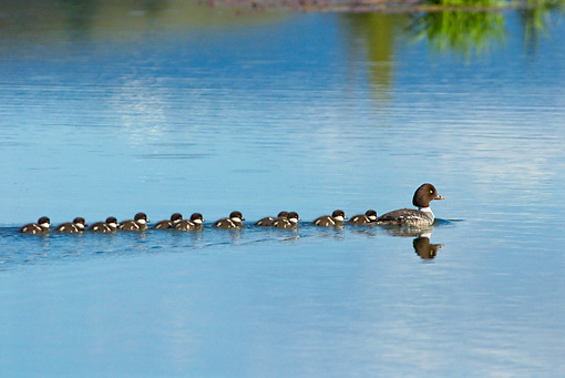 BRD 03 TL0017 01 © Kimball Stock Barrow's Goldeneye Duck Hen Swimming In Pond With Ducklings