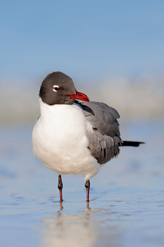 BRD 04 AC0018 01 © Kimball Stock Laughing Gull Standing In Water By Sanibel Island, Florida, USA