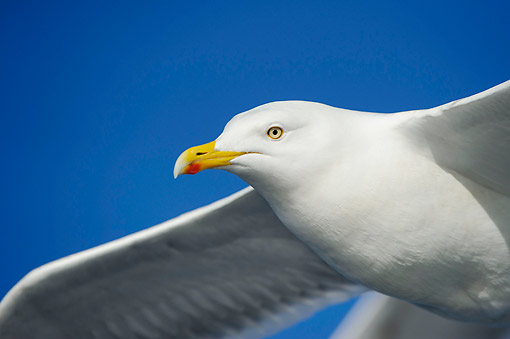 BRD 04 AC0019 01 © Kimball Stock European Herring Gull Flying