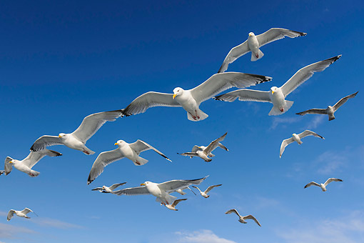 BRD 04 AC0020 01 © Kimball Stock European Herring Gulls Flying