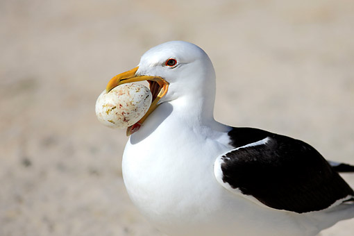 BRD 04 AC0023 01 © Kimball Stock Kelp Gull (Or Dominican Gull) Holding Egg In Simon's Town, Western Cape, South Africa