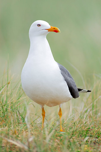 BRD 04 AC0024 01 © Kimball Stock Lesser Black-Backed Gull Standing In Grass In Germany